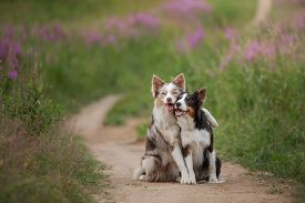 Two Dogs Hugging Together For A Walk. Pets In Nature. Cute Border Collie In A Field In Colors. St. V