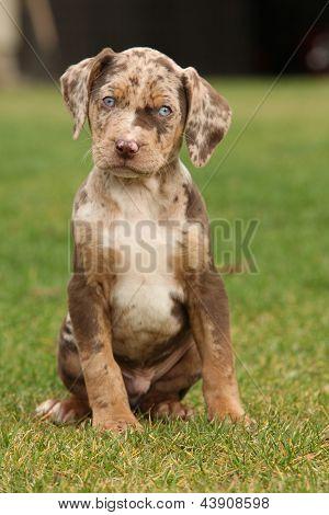 Louisiana Catahoula Puppy On The Grass