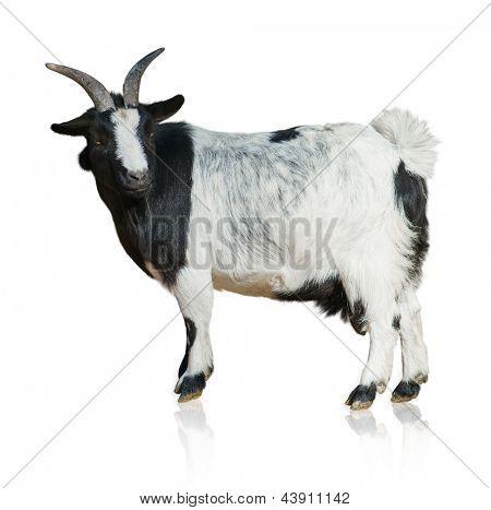 Portrait Of Goat Isolated On White Background