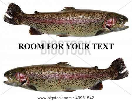 Rainbow trout AKA Salmon trout or Oncorhynchus mykiss isolated on white with room for your text