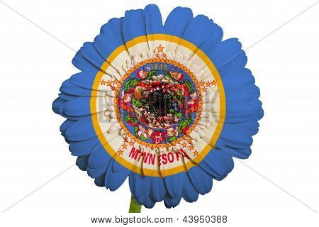 Gerbera Daisy Flower In Colors Flag Of American State Of Minnesota   On White Background As Concept