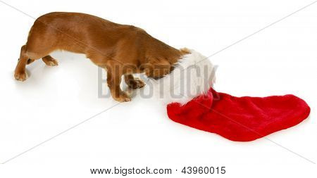christmas dog - miniature dachshund with head inside stocking isolated on white background poster