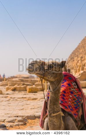 Camel next to pyramid in Giza Cairo poster