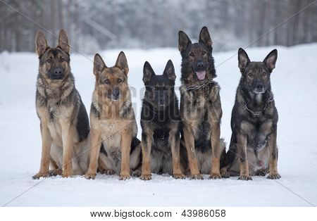 five german sheepdogs sitting on the snow poster