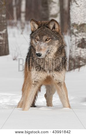 Grey Wolf (Canis lupus) Stands in the Snow - captive animal poster