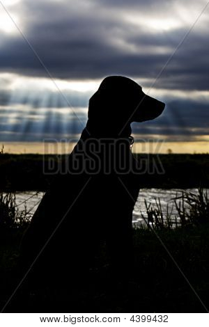 Silhoutted Labrador