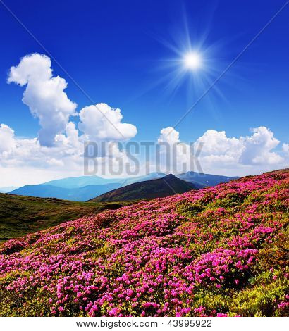 Beautiful pink flowers of rhododendron glade. Mountain landscape bright sunny day