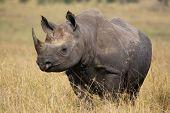 Rhino walking in the high grass in Kenya poster