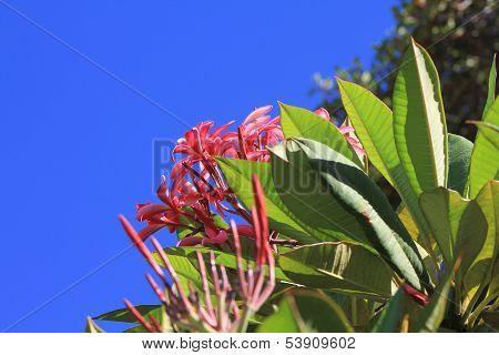 Pink Plumeria Flowers