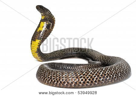 Black Pakistani Cobra