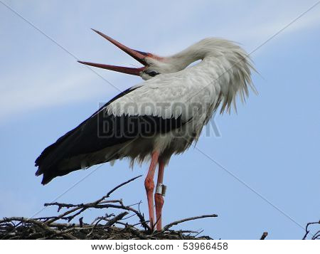 Stork in salution pending partner.