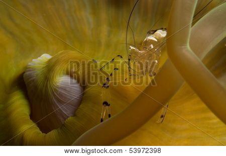 glass anemone shrimp