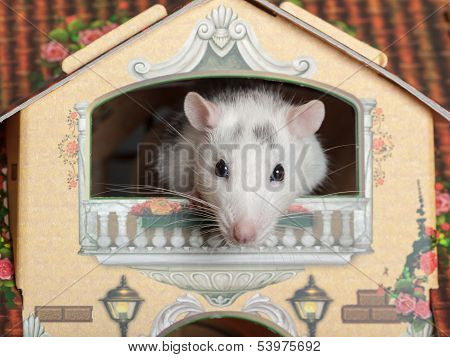 Rat On The Balcony