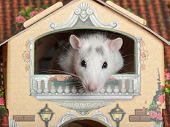 domestic rat on the balcony of a dollhouse poster