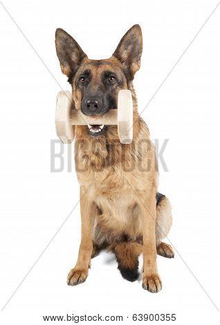 German Shepherd Holding Dumbbell