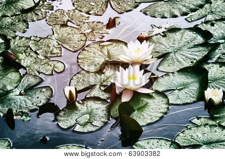 Blooming Water Lily Flowers
