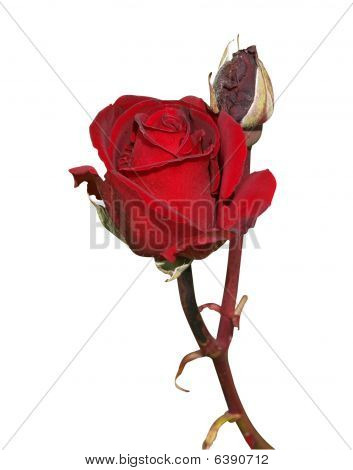 Dark Red Rose With Bud