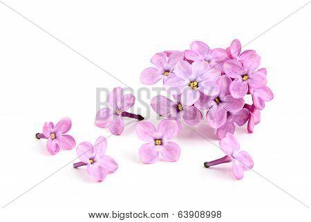 Flower Of Purple Lilac.