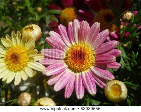 Chrysanthemum Pink and White