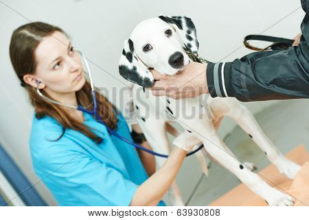 Female veterinarian surgeon worker treating Dalmatian dog in veterinary surgery clinic