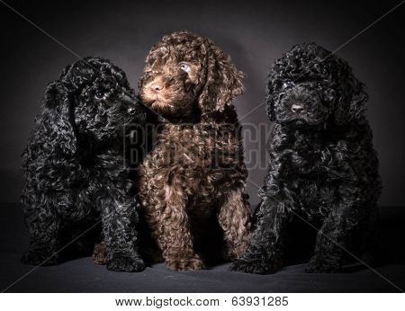 litter of barbet puppies - 7 weeks old
