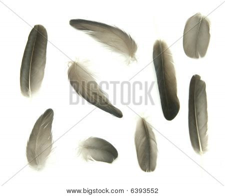 black feathers isolated on a white background poster