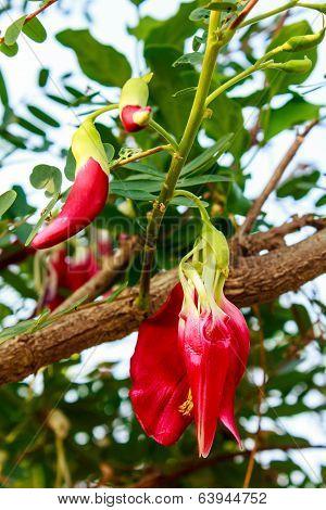 Red Agasta On Tree