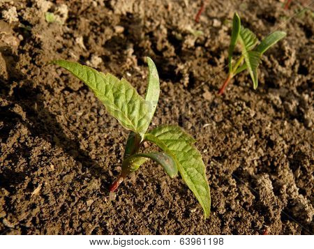 small seedlings of ash-leaved maple