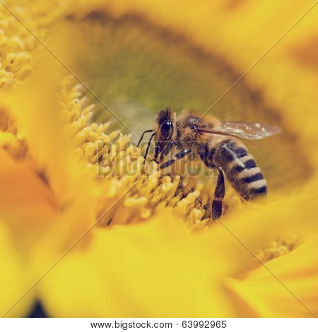 Close up of a honeybee Apis mellifera foraging for pollen on a bright yellow sunflower pollinating the crop as it passes from flower to flower. poster
