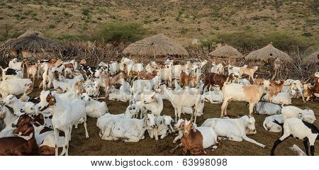 Livestock Of Maasai Tribe In Africa