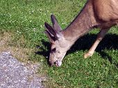 A close-up of a male deer eating grass poster
