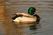 A mallard duck floating in a pond poster