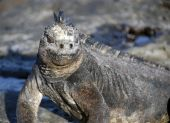 The marine iguana can only be found in the Galapagos islands poster