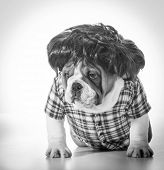 english bulldog wearing wig and plaid shirt poster