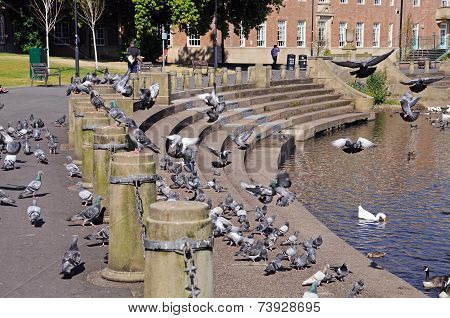 Pigeons on riverbank, Derby.