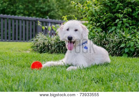 Labradoodle With Red Toy Ball