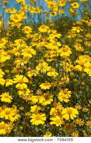 Arizona Brittlebush