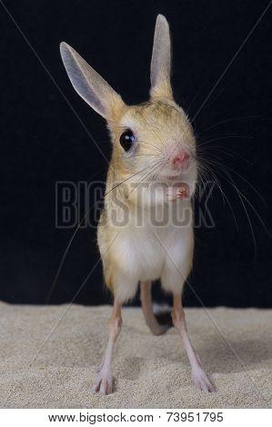 Four-toed jerboa / Allactaga tetradactyla
