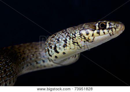 Balkan whip snake / Hierophis gemonensis