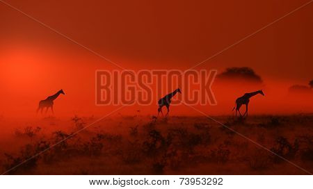 Giraffe - African Wildlife Background - Red Sunset Dust of Epic Beauty