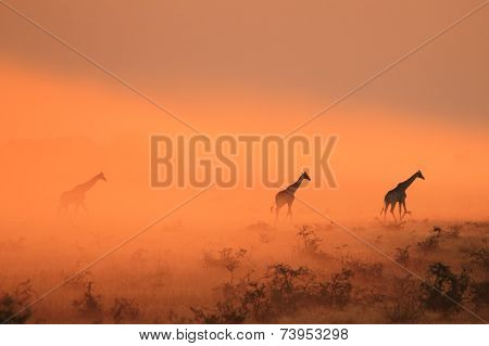 Southern African Giraffes wander out of colorful sunset dust, as seen in the wilds and wilderness of Africa. poster