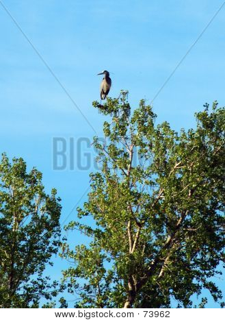 great blue heron sitting on the top branch of a cottonwood, (suitable for smaller size) poster