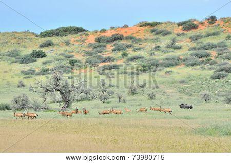 Red Hartebeest Herd