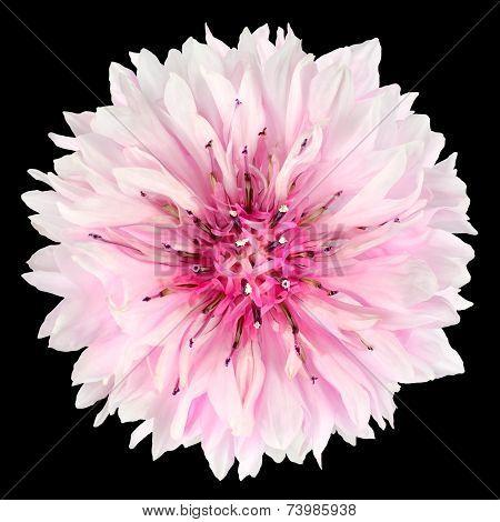 Pink Cornflower Flower Isolated On Black Background