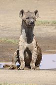 this spotted hyena was taken in kenya poster