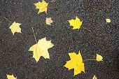 the big yellow maple foliage lies on the black asphalted road poster