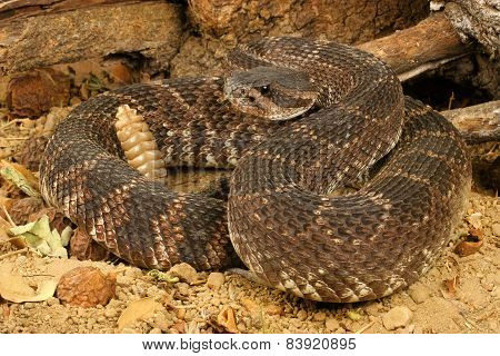 Portrait of a Southern Pacific Rattlesnake. Animal portrait. poster