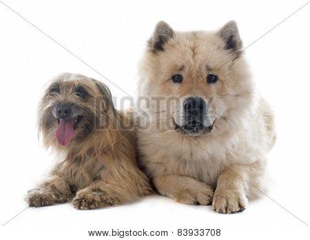 Pyrenean Shepherd And Eurasier