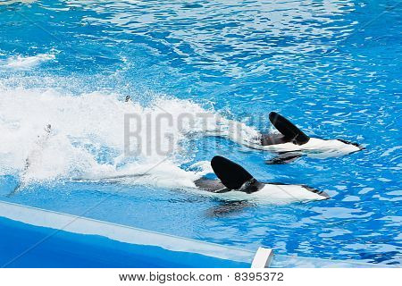 Killer Whales At Seaworld