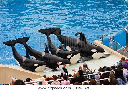 Shamu And Other Killer Whales At Seaworld